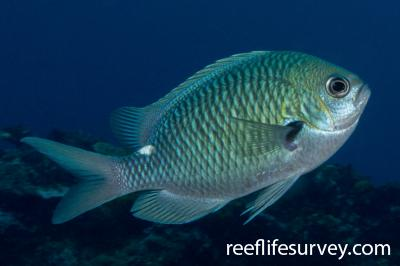 Chromis hypsilepis: Lord Howe Island, Australia,  Photo: Rick Stuart-Smith