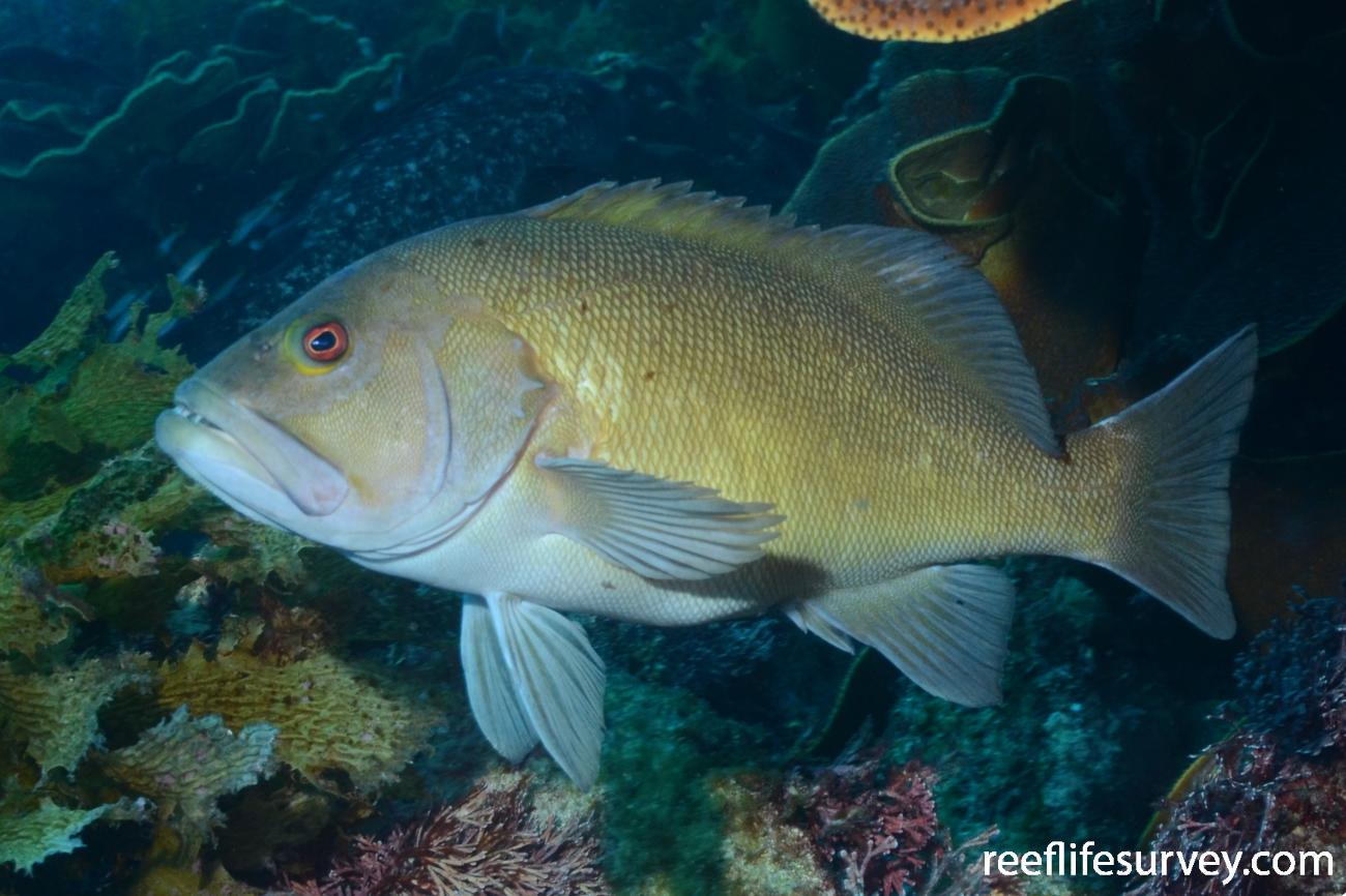 Epinephelides armatus, Recherche Archipelago, Western Australia,  Photo: Graham Edgar