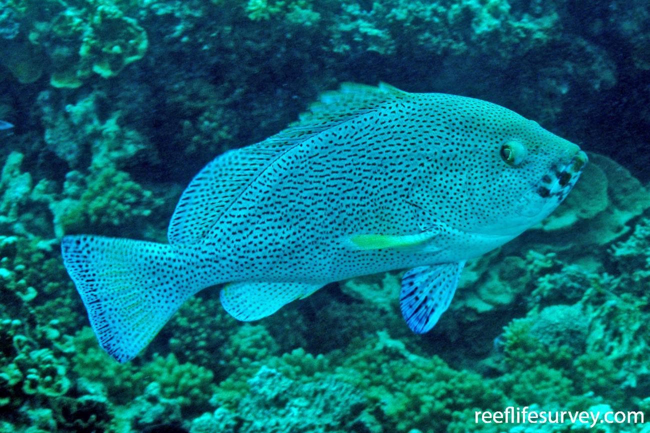 Epinephelus cyanopodus, Lord Howe Island,
