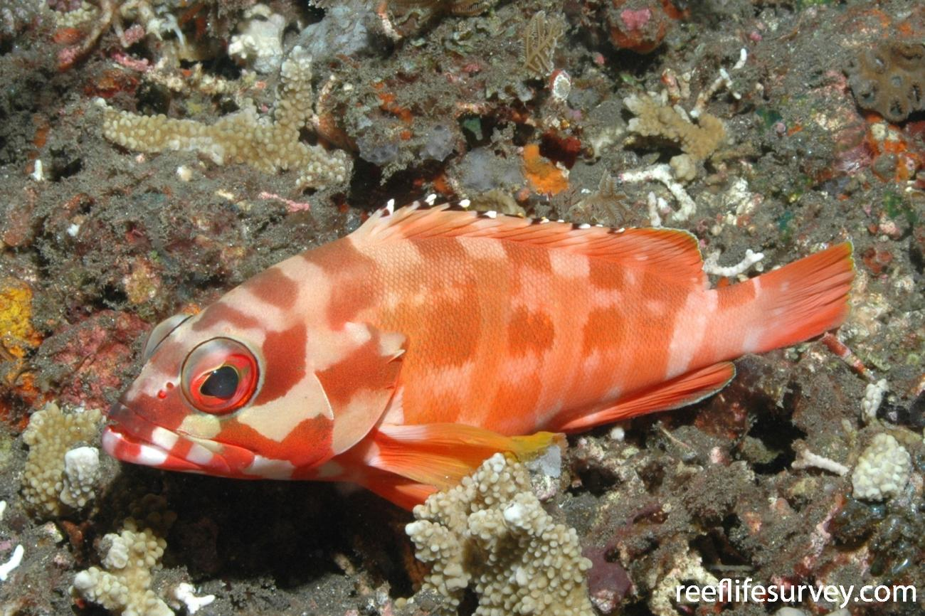 Epinephelus fasciatus, Adult, Bali, Indonesia,  Photo: Ian Shaw
