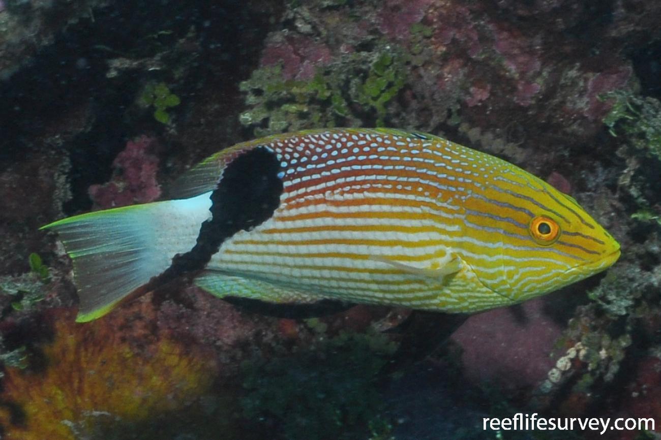 Bodianus loxozonus, QLD, Australia,  Photo: Rick Stuart-Smith