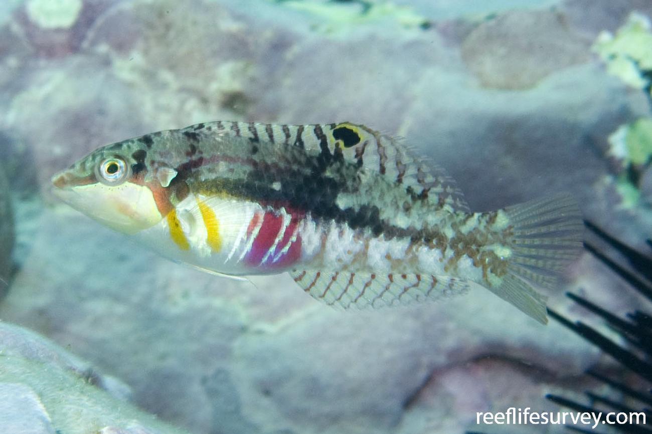 Halichoeres nebulosus, Montague Is, NSW,  Photo: Andrew Green
