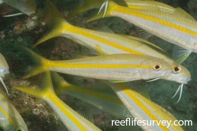 Mulloidichthys dentatus: Machalilla, Ecuador,  Photo: Graham Edgar