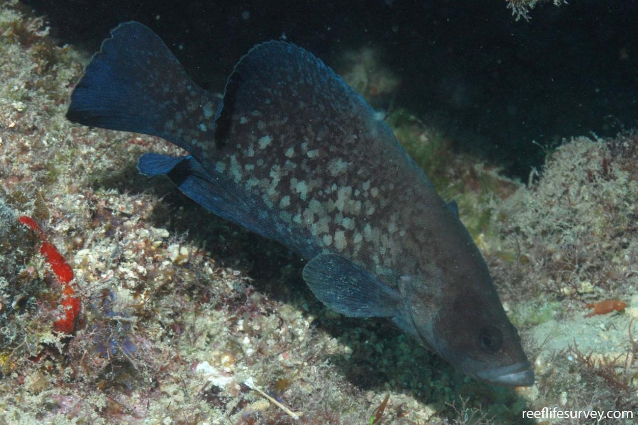 Rypticus saponaceus, Abrolhos Islands, Brazil,  Photo: Graham Edgar