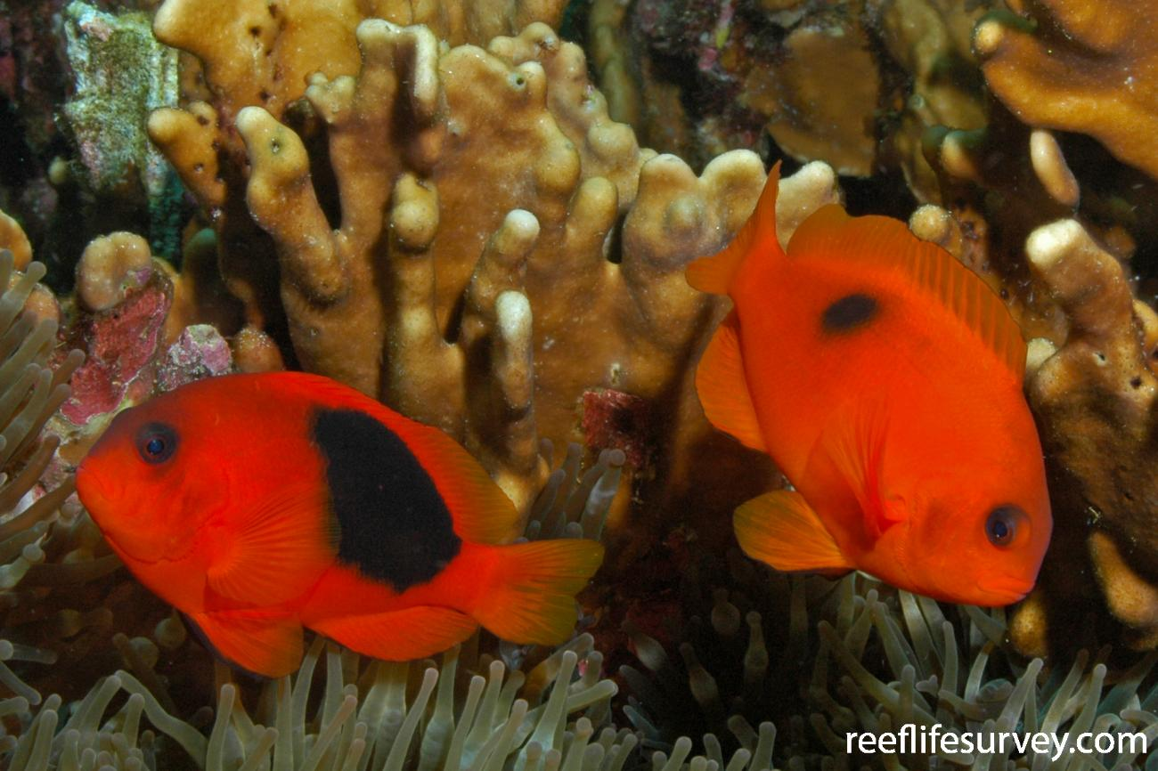 Amphiprion ephippium, Aceh, Indonesia,  Photo: Rick Stuart-Smith