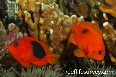 Amphiprion ephippium: Aceh, Indonesia,  Photo: Rick Stuart-Smith