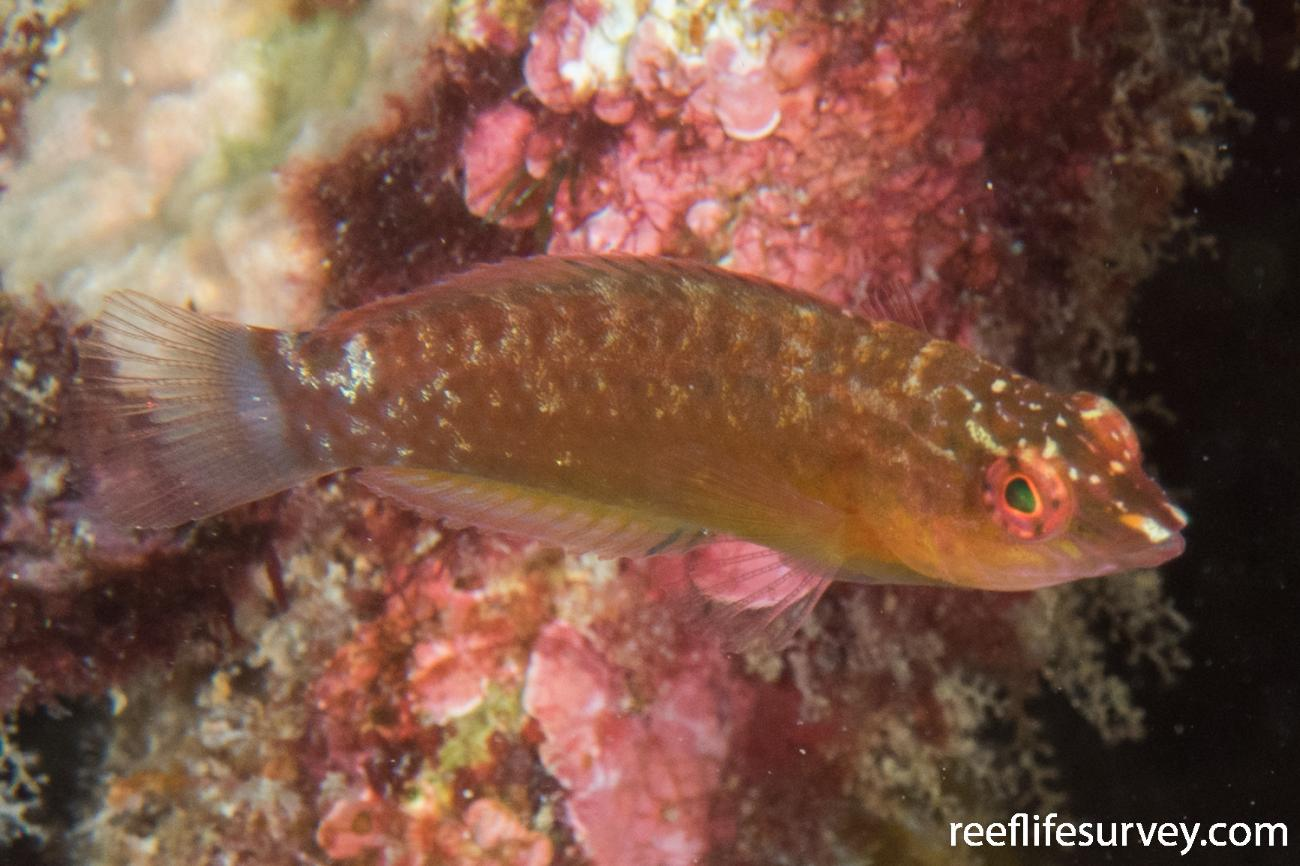 Austrolabrus maculatus, Juvenile, Rottnest Is, WA,  Photo: Rick Stuart-Smith