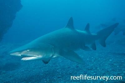 Carcharias taurus: Batemans Bay, New South Wales, Australia,  Photo: Andrew Green