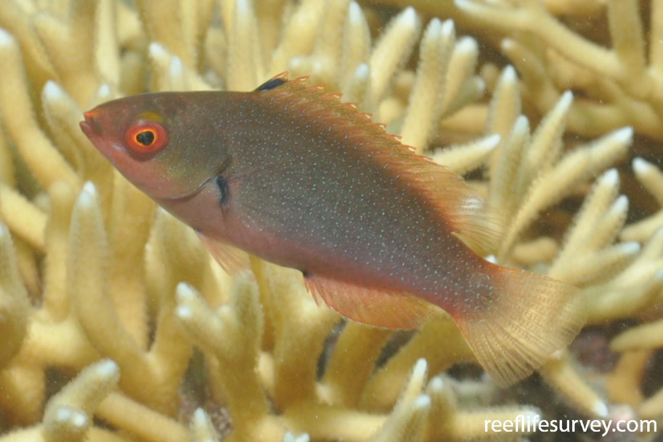 Cirrhilabrus punctatus, Juvenile, NSW, Australia,  Photo: Rick Stuart-Smith