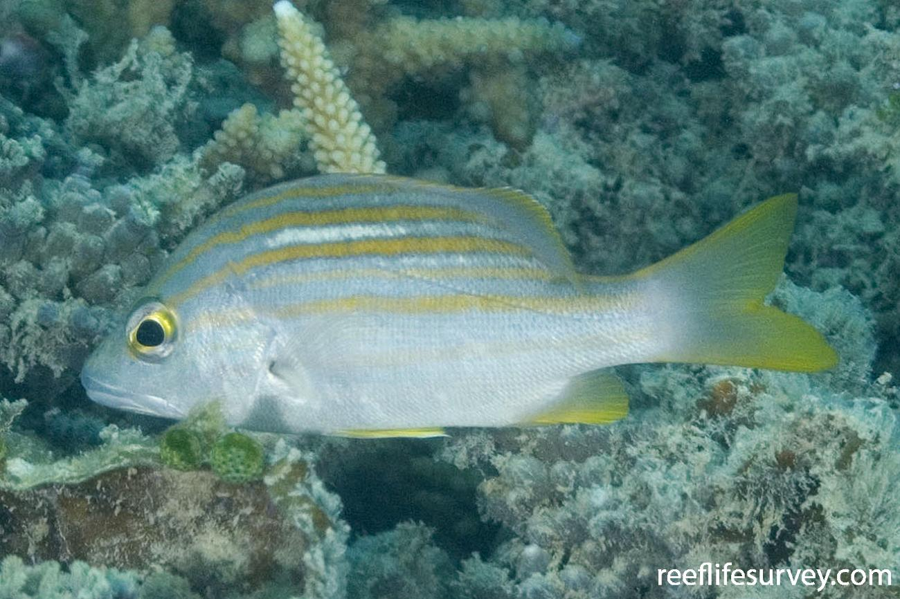 Lutjanus carponotatus, Torres Strait, QLD,  Photo: Andrew Green