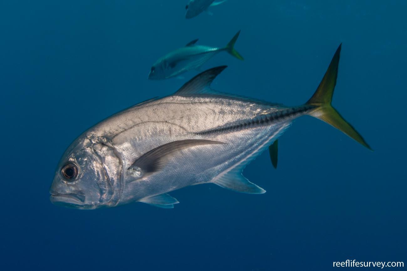 Caranx latus, Turks & Caicos,  Photo: Rick Stuart-Smith