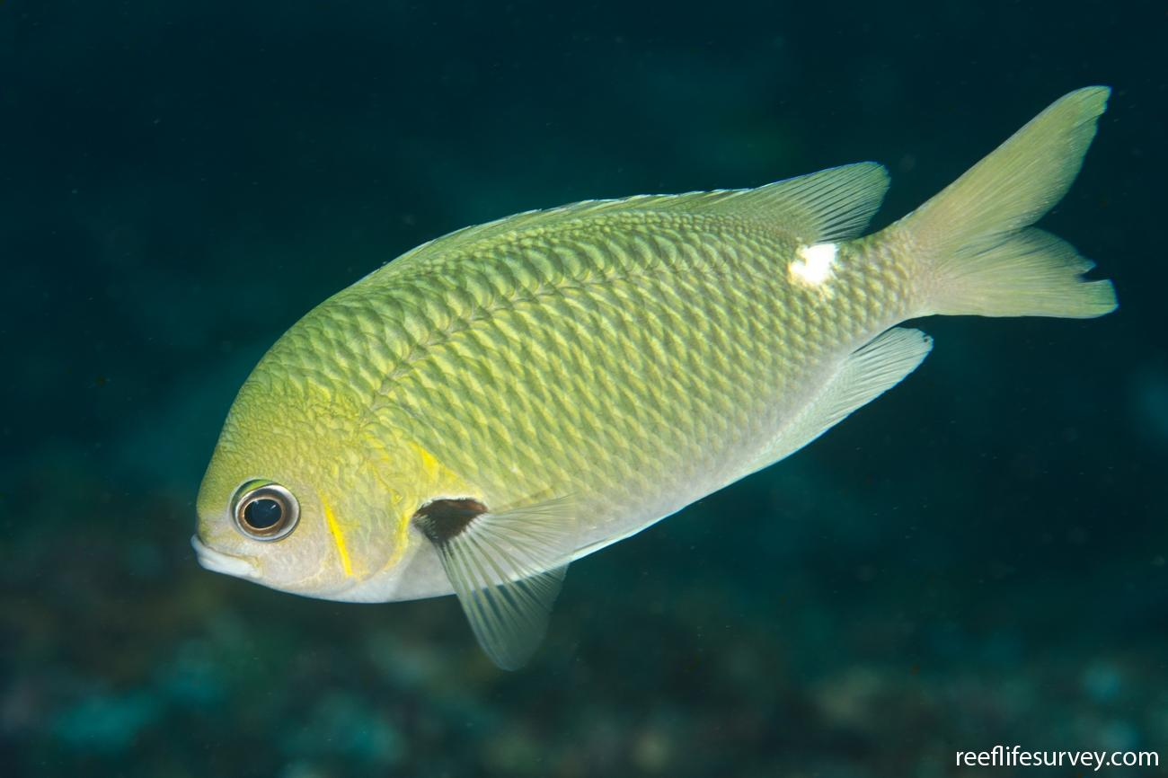Chromis hypsilepis, NSW, Australia,  Photo: Ian Shaw