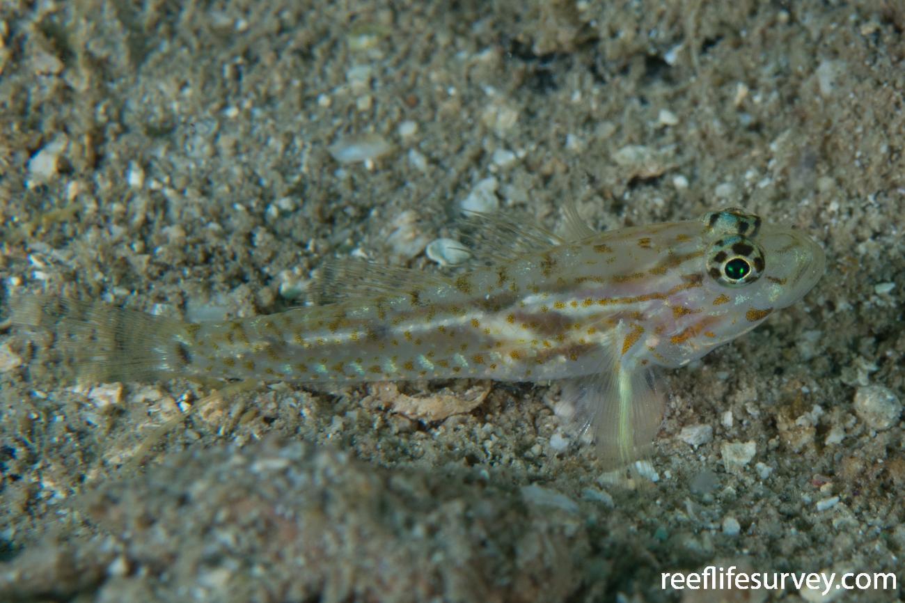 Coryphopterus eidolon, Bocas del Toro, Panama,  Photo: Rick Stuart-Smith