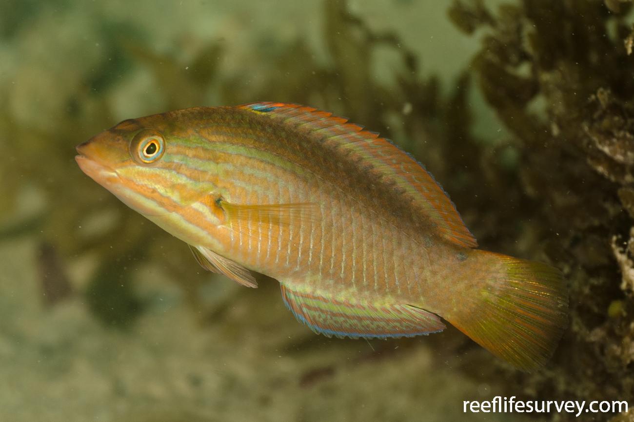 Pseudolabrus guentheri, Juvenile, NSW, Australia,  Photo: Ian Shaw