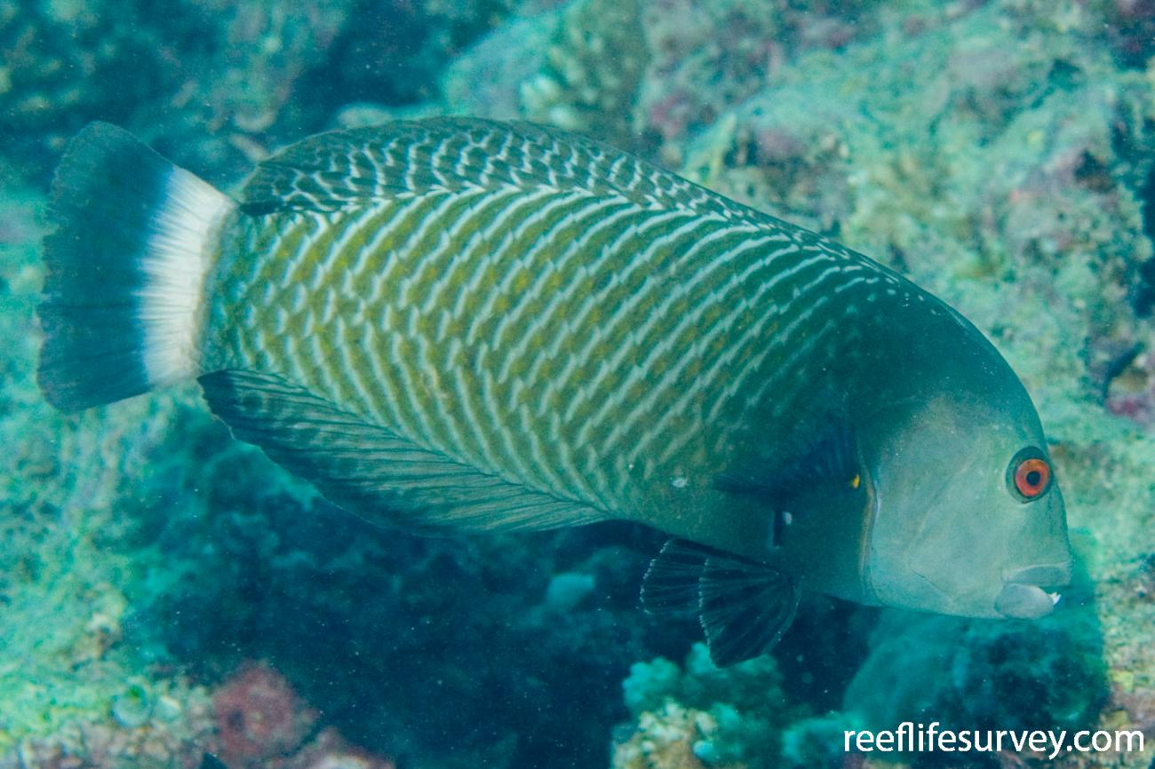 Novaculichthys taeniourus, Adult, Great Barrier Reef, Cairns, QLD,  Photo: Andrew Green