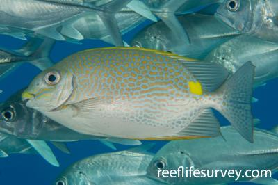 Siganus guttatus: Raja Ampat, Indonesia,  Photo: Rick Stuart-Smith