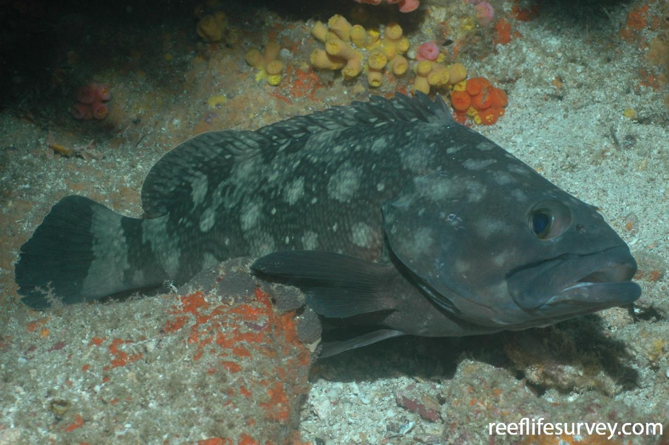 Epinephelus coeruleopunctatus, Seulako Aceh, Indonesia,  Photo: Graham Edgar