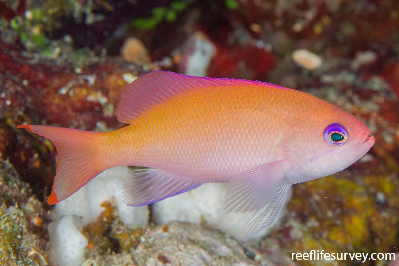 Pseudanthias hypselosoma, Female, Naigani Is, Fiji,  Photo: Andrew Green