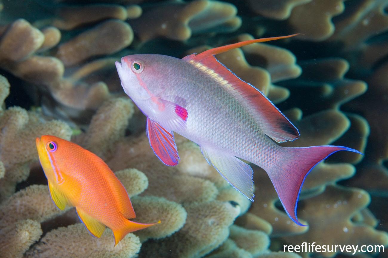 Pseudanthias squamipinnis, Female left, male right. Naigani Is, Fiji,  Photo: Andrew Green