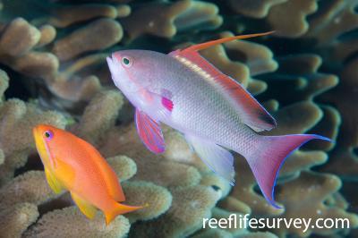 Pseudanthias squamipinnis: Female left, male right. Naigani Is, Fiji,  Photo: Andrew Green