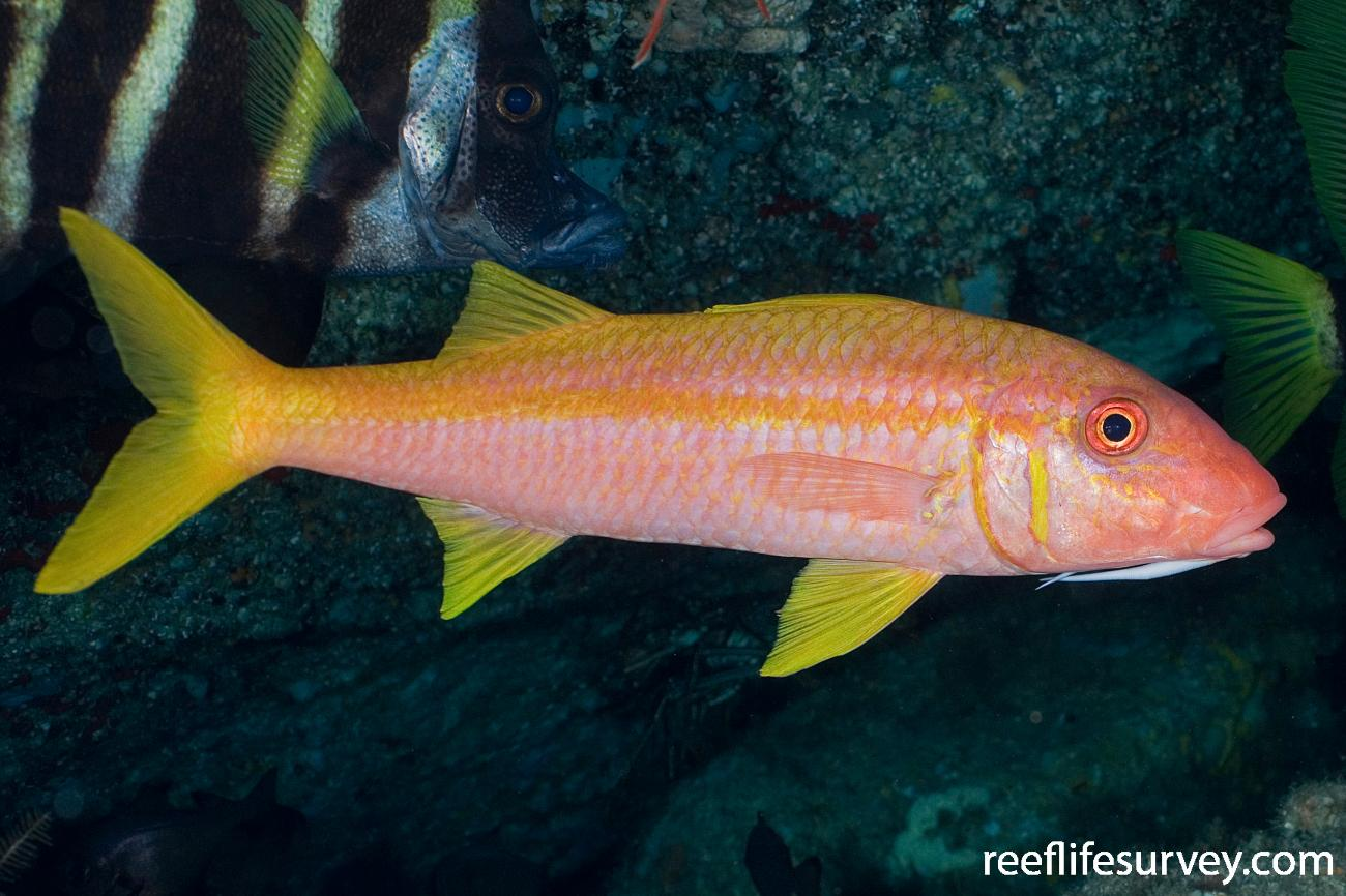 Mulloidichthys vanicolensis, Lord Howe Is, NSW,  Photo: Andrew Green