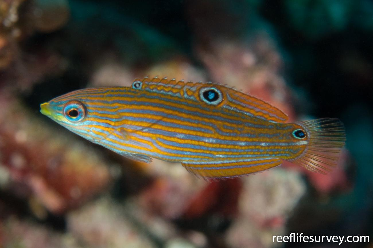 Halichoeres melanurus, Juvenile, Raja Ampat, Indonesia,  Photo: Rick Stuart-Smith