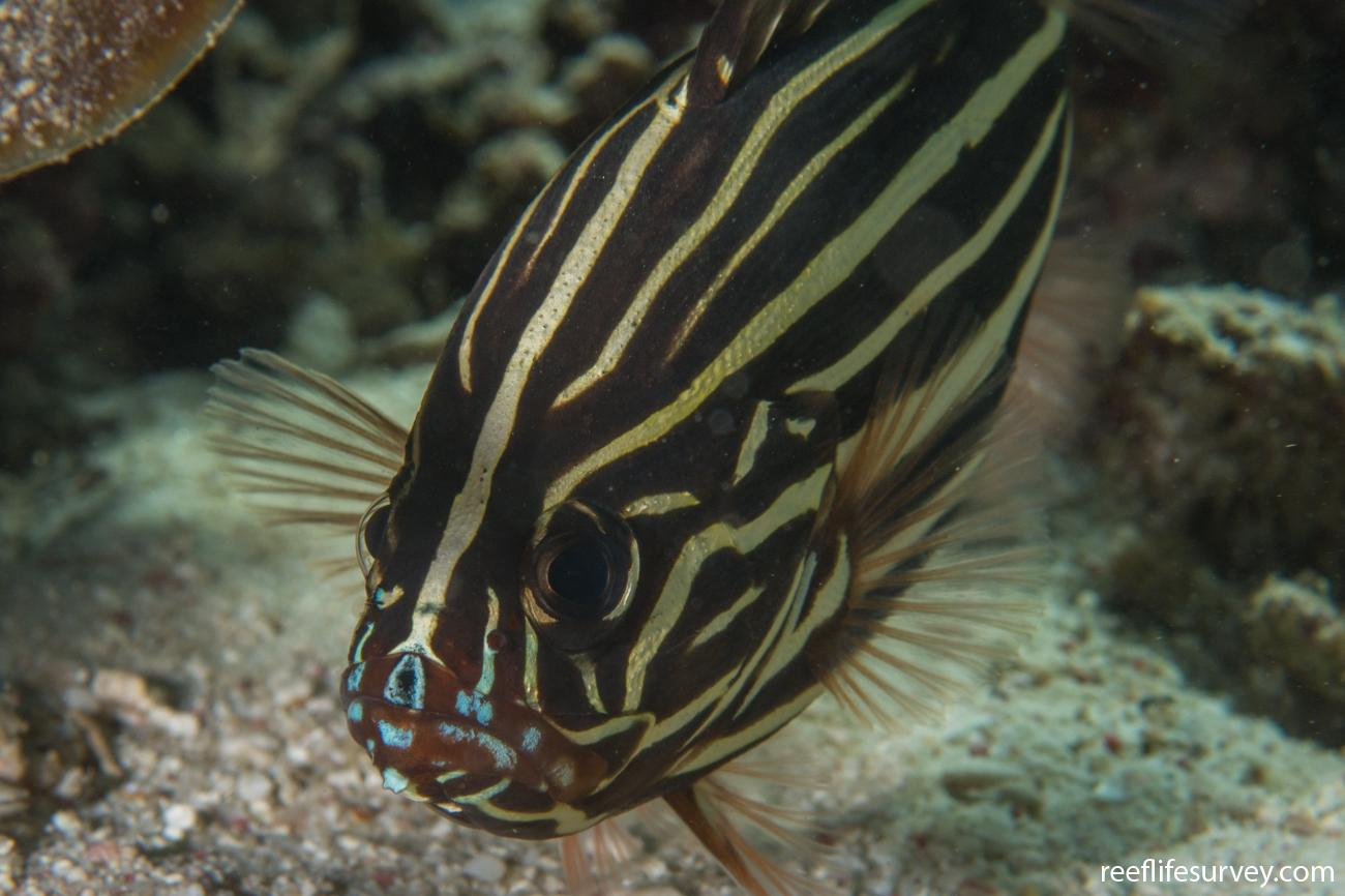 Grammistes sexlineatus, Ningaloo Reef, Australia,  Photo: Rick Stuart-Smith