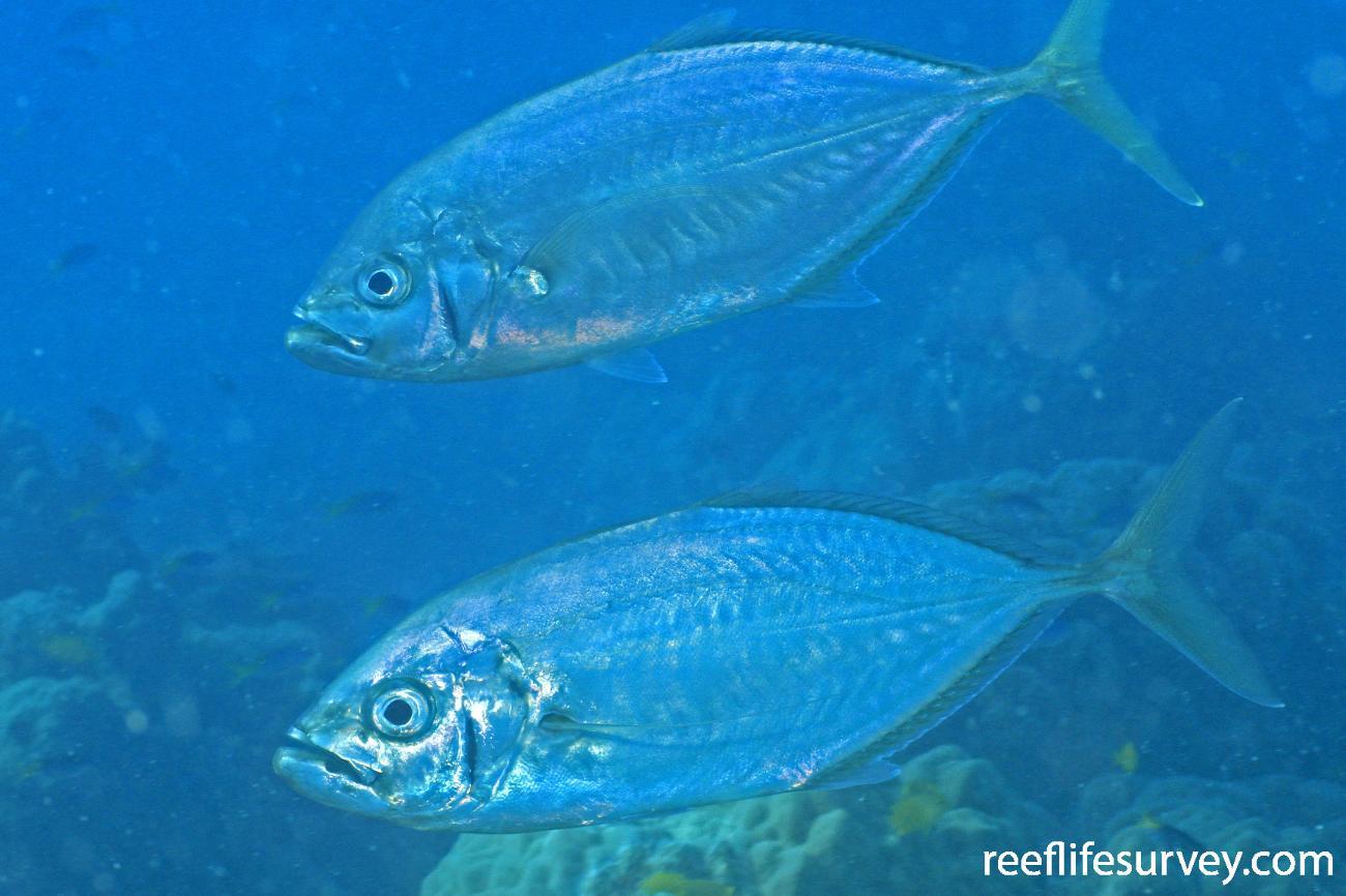 Carangoides plagiotaenia, Adult, Great Barrier Reef,  Photo: Graham Edgar