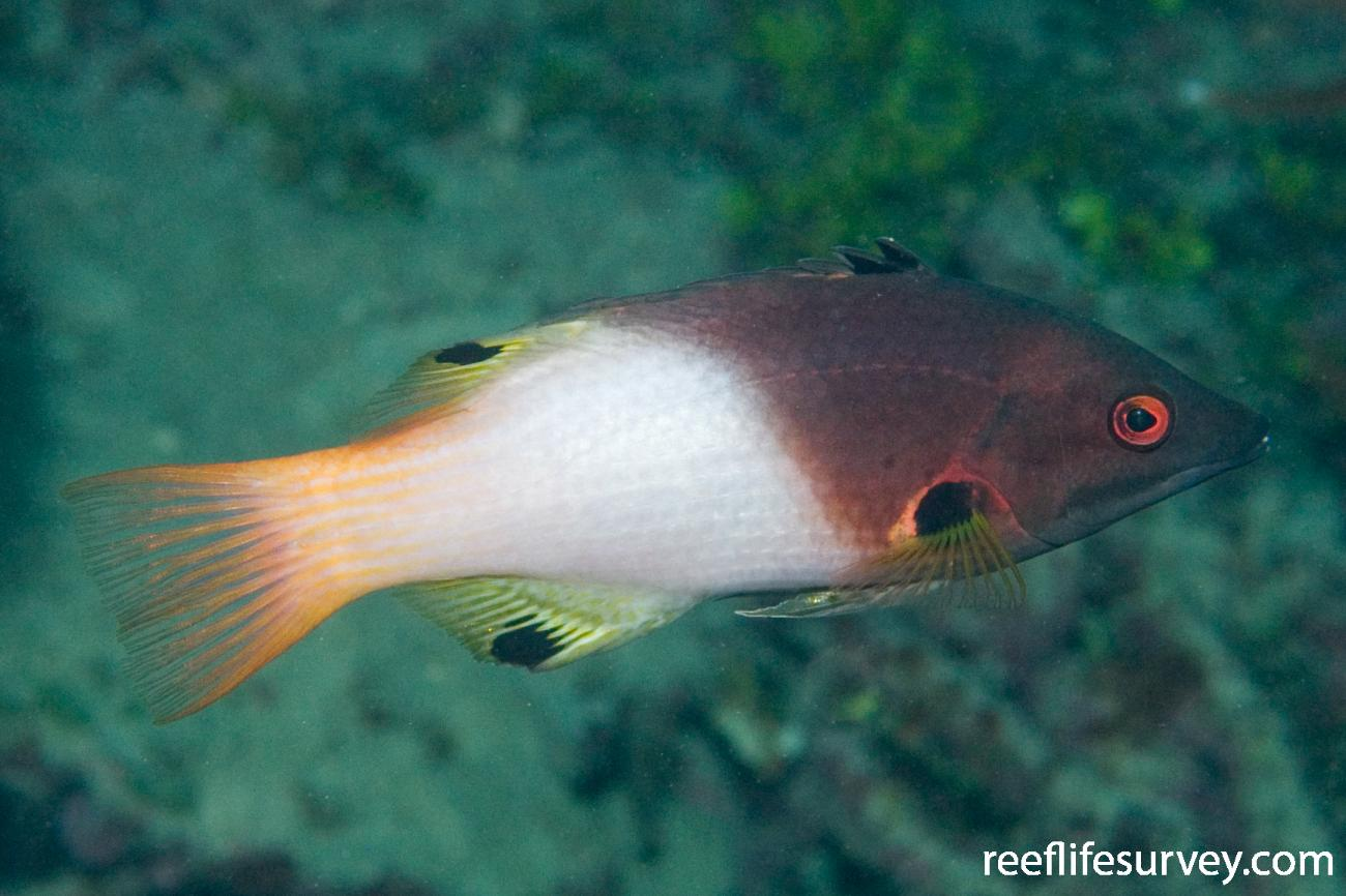 Bodianus axillaris, Great Barrier Reef, Cairns, Qld,  Photo: Andrew Green