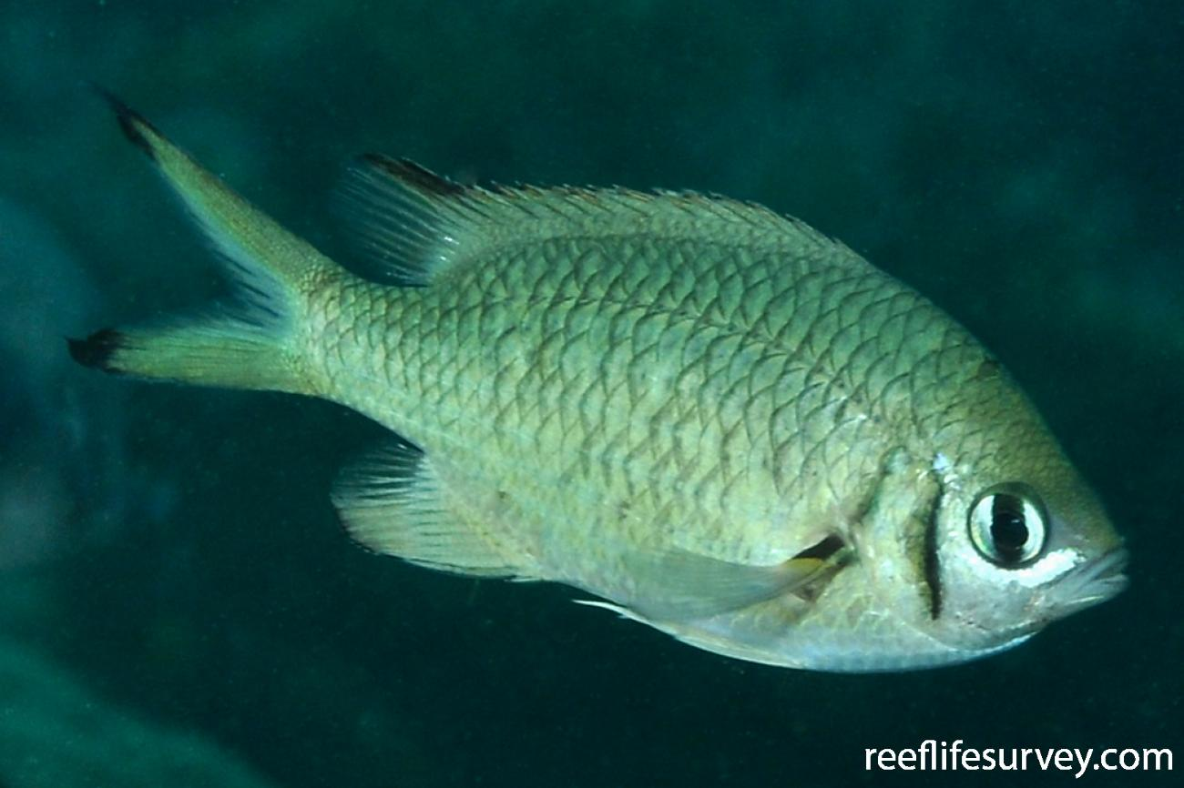 Chromis weberi, Adult.  Photo: Rick Stuart-Smith