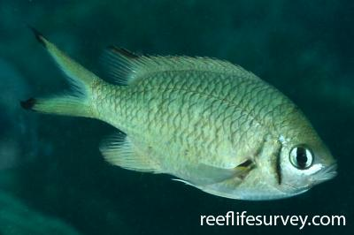 Chromis weberi: Adult.  Photo: Rick Stuart-Smith