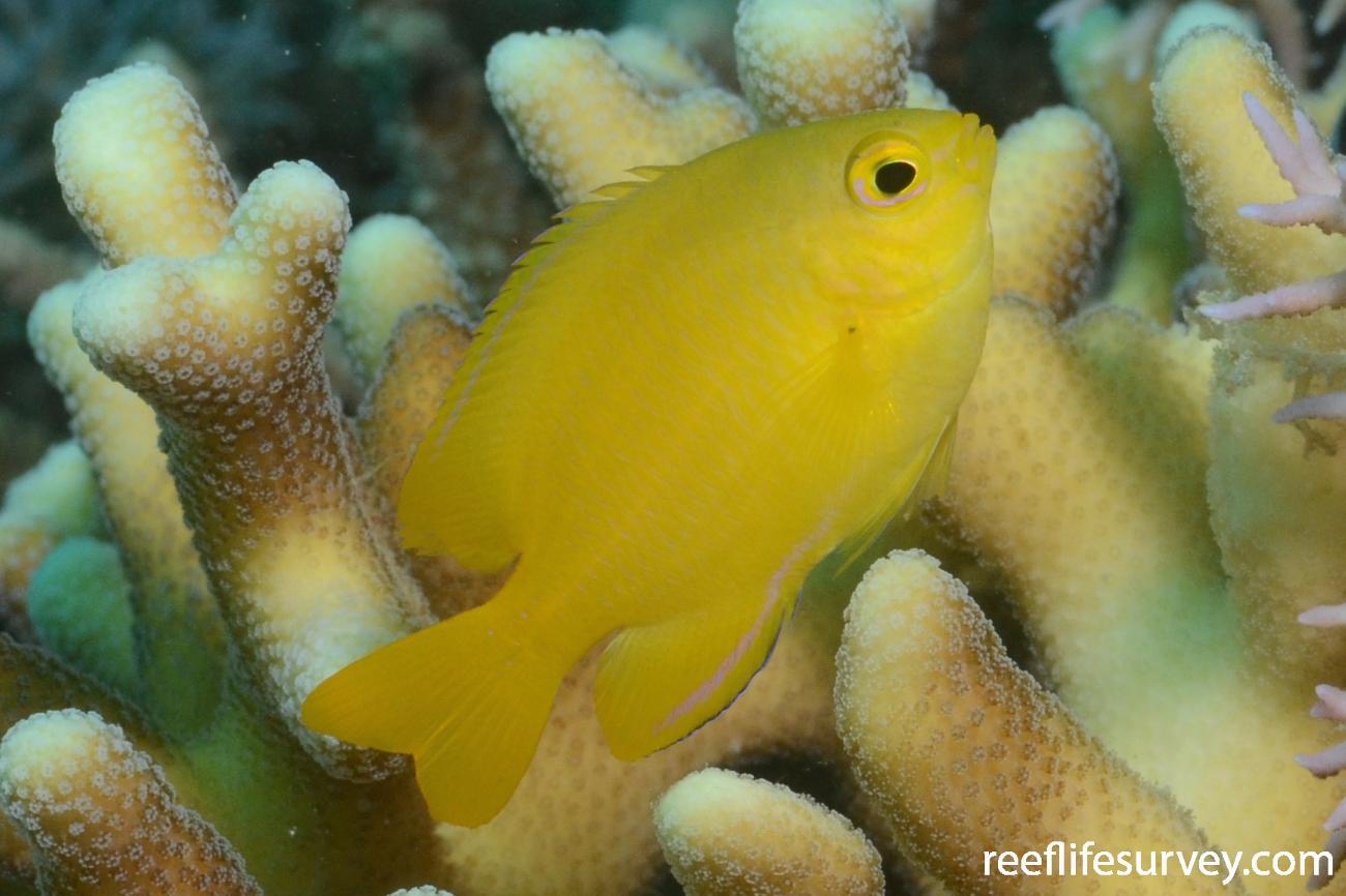 Pomacentrus moluccensis, Juvenile, Banda Archipelago, Indonesia,  Photo: Joe Shields