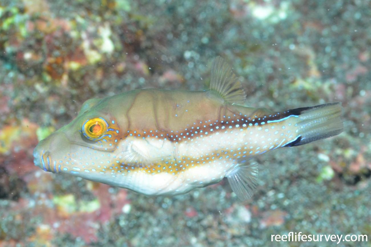 Canthigaster capistrata, Canary Islands,  Photo: Graham Edgar
