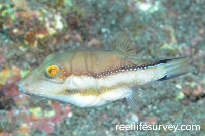 Canthigaster capistrata: Canary Islands,  Photo: Graham Edgar