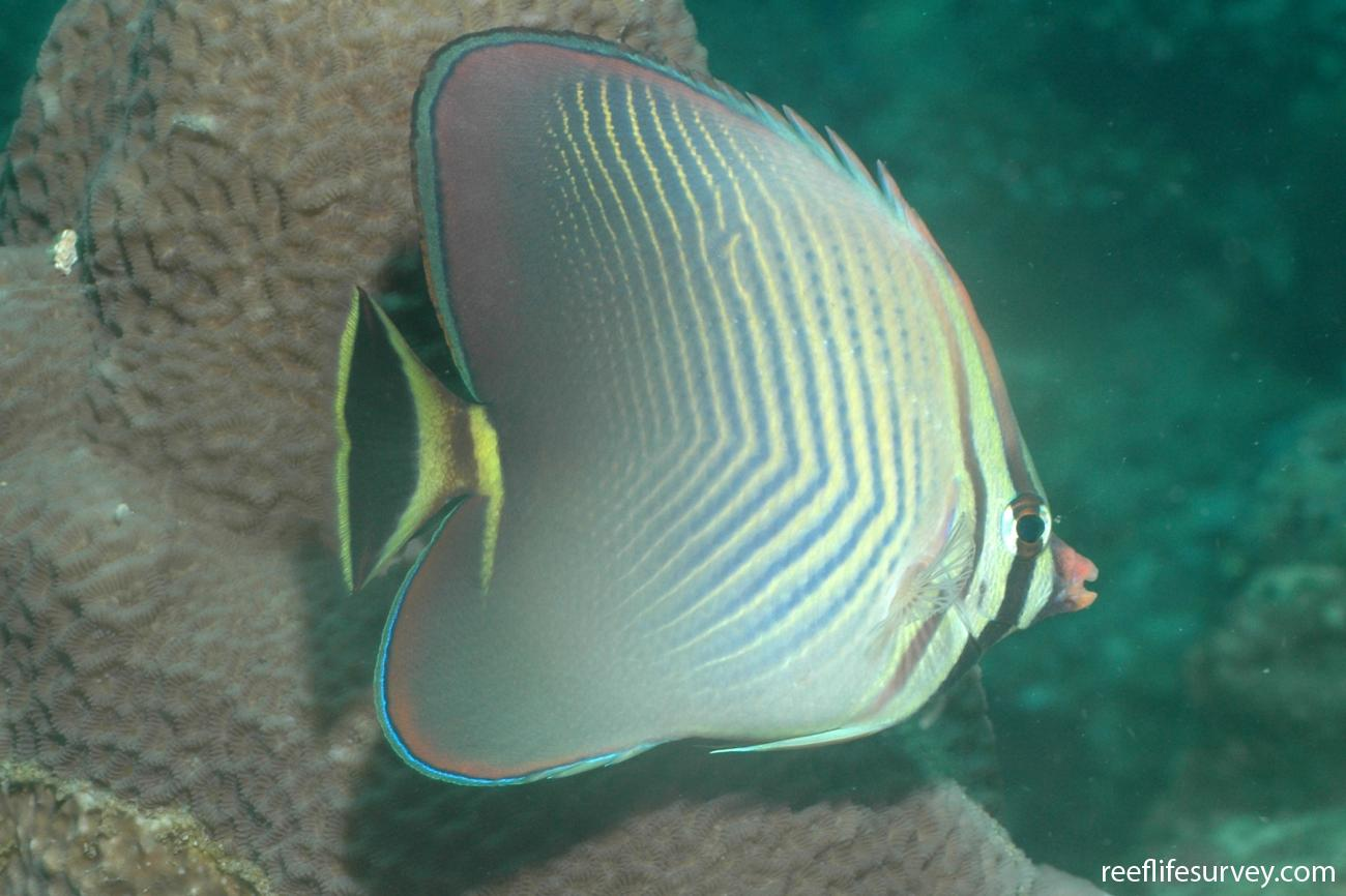 Chaetodon triangulum, Aceh, Indonesia,  Photo: Graham Edgar