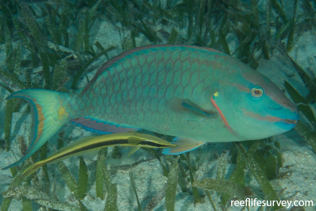 Echeneis neucratoides, Belize,  Photo: Rick Stuart-Smith