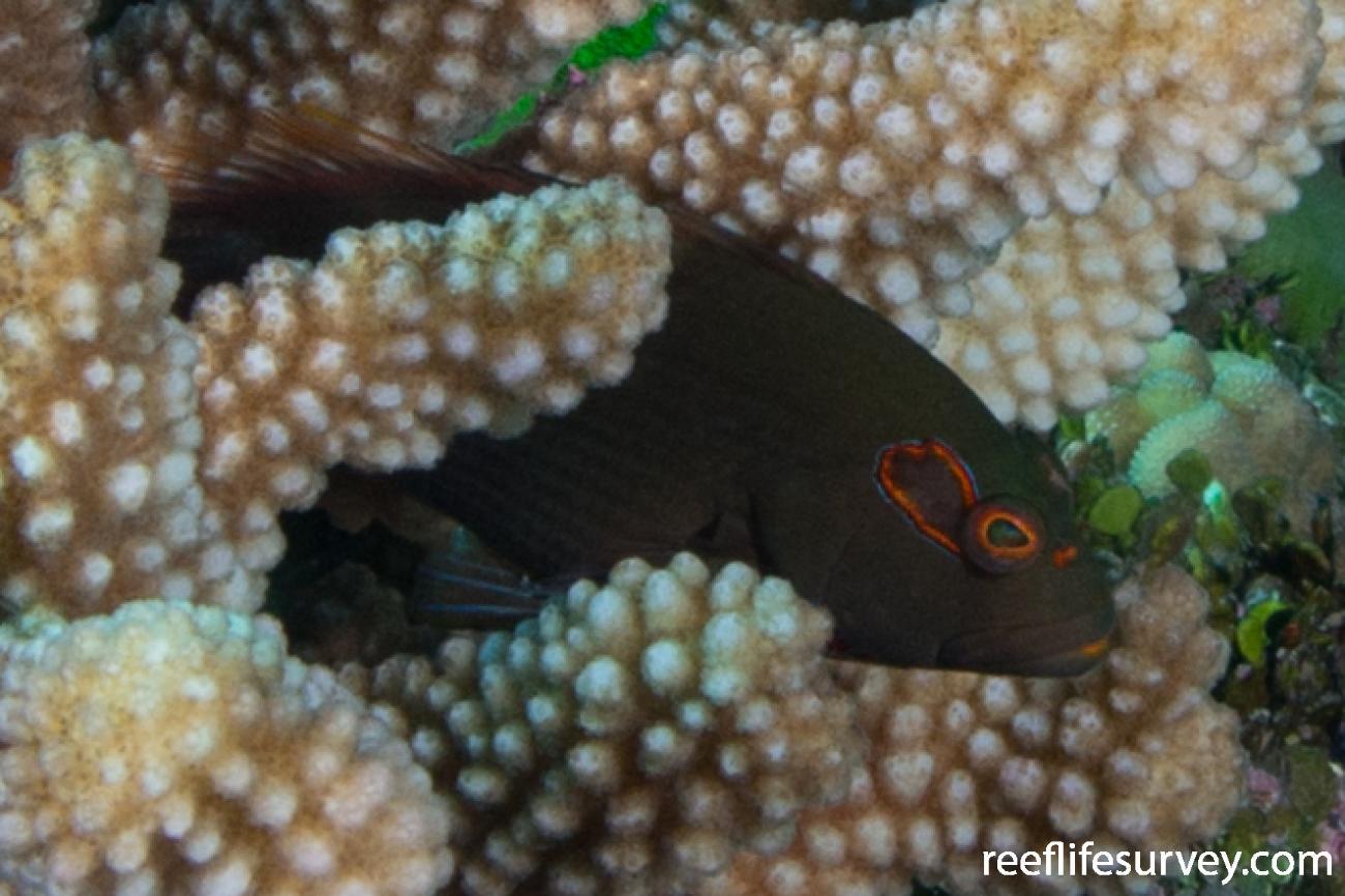 Paracirrhites arcatus, Coral Sea, Australia,  Photo: Rick Stuart-Smith