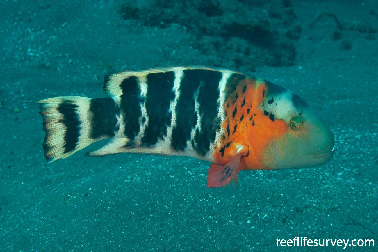 Cheilinus fasciatus, Adult, Bali, Indonesia,  Photo: Ian Shaw