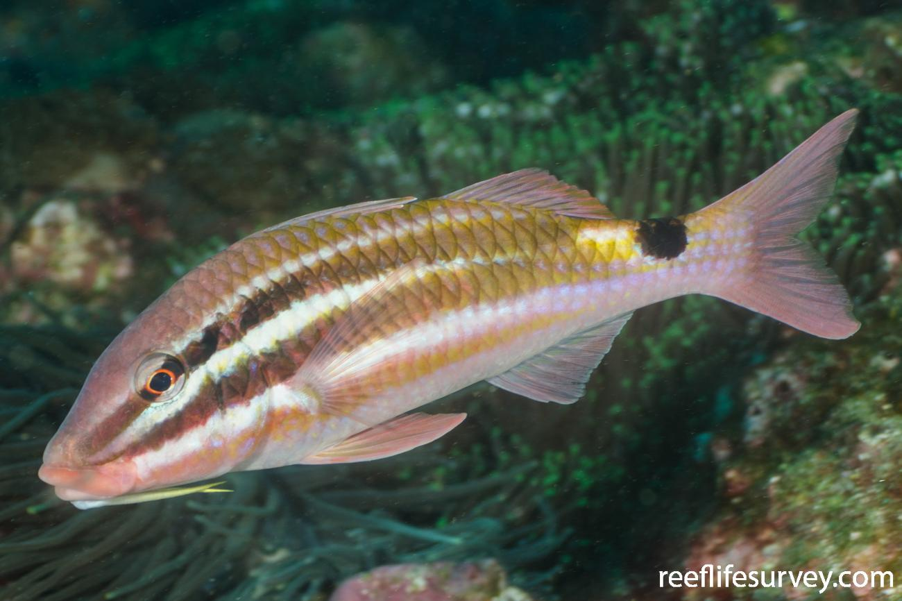 Parupeneus spilurus, Adult, NSW, Australia,  Photo: Ian Shaw