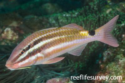 Parupeneus spilurus: Adult, NSW, Australia,  Photo: Ian Shaw