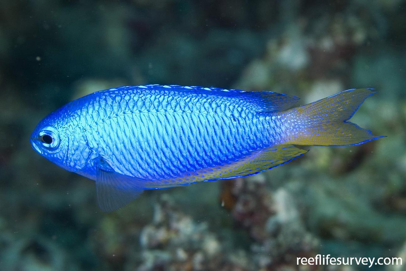 Pomacentrus coelestis, Naigani Is, Fiji,  Photo: Andrew Green