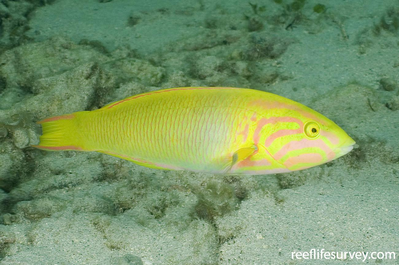 Thalassoma lutescens, Adult, Lord Howe Is, NSW,  Photo: Andrew Green