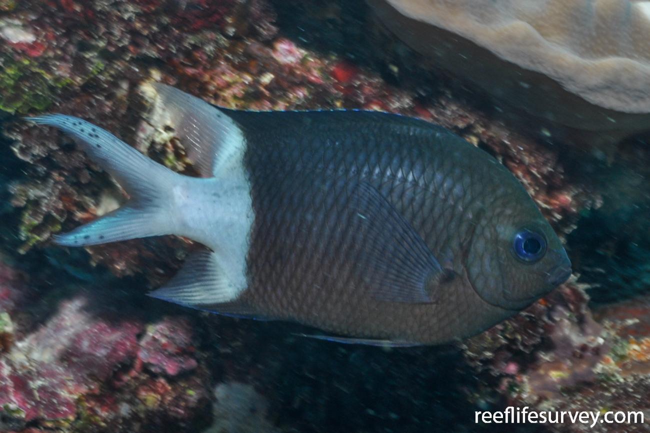 Acanthochromis polyacanthus, Adult.  Photo: Rick Stuart-Smith