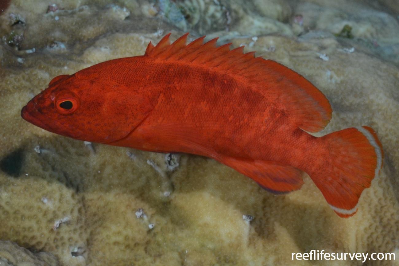 Cephalopholis spiloparaea, Bouganville Reef, Coral Sea,  Photo: Graham Edgar