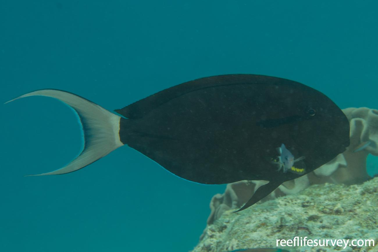 Acanthurus nigricauda, Maldives,  Photo: Rick Stuart-Smith