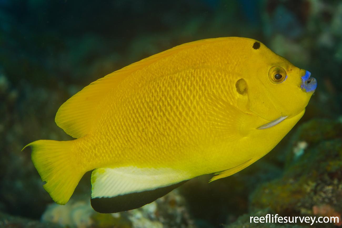 Apolemichthys trimaculatus, Adult, Bali, Indonesia,  Photo: Ian Shaw