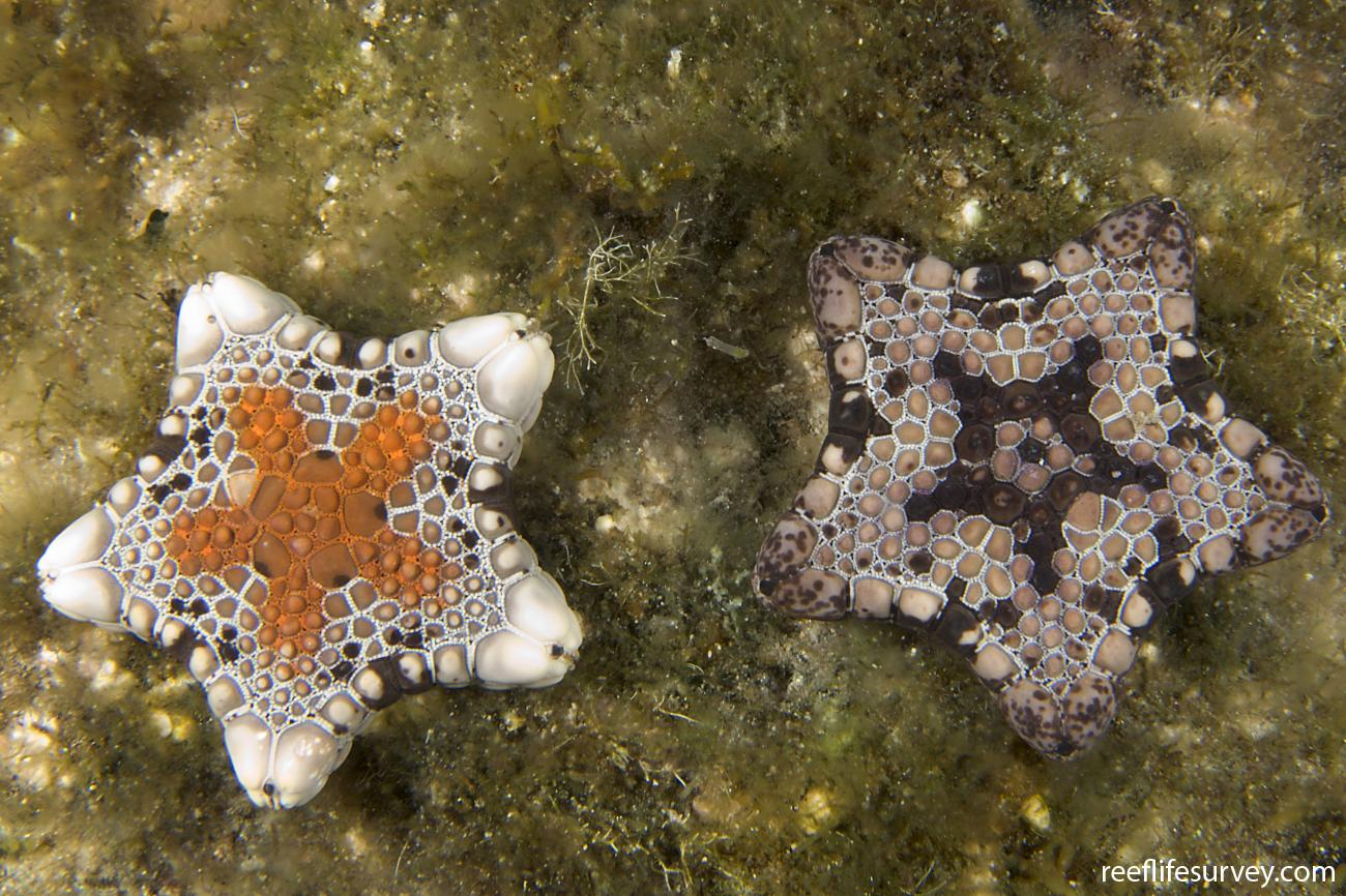 Tosia australis, 1 of 2. Chain of Bays, SA,  Photo: Andrew Green