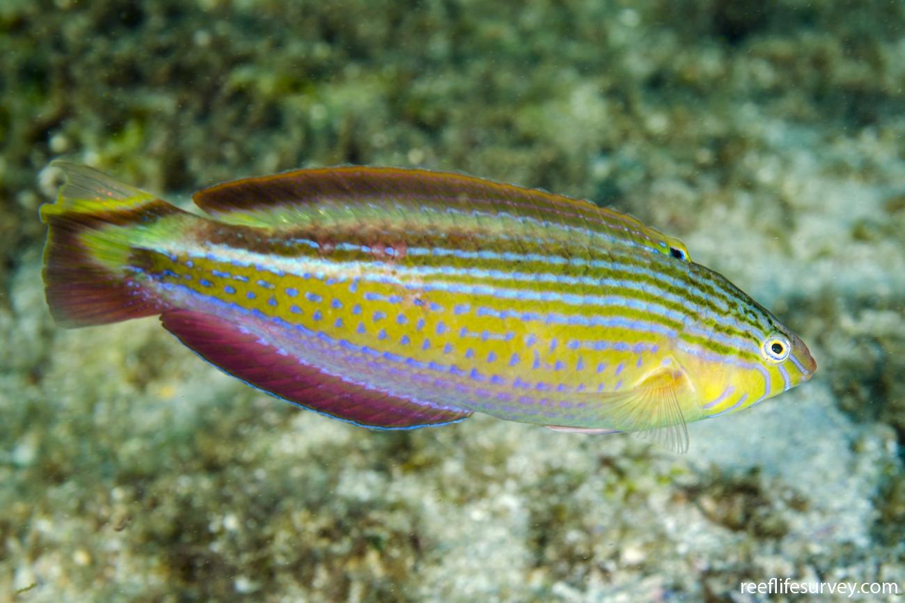 Suezichthys arquatus, Male, NSW, Australia,  Photo: Ian Shaw