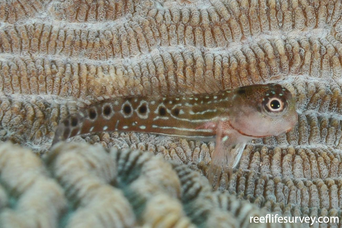 Ecsenius oculatus, Juvenile, Ningaloo Reef, Australia,  Photo: Rick Stuart-Smith
