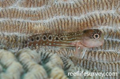 Ecsenius oculatus: Juvenile, Ningaloo Reef, Australia,  Photo: Rick Stuart-Smith